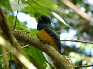 black headed trogon 1